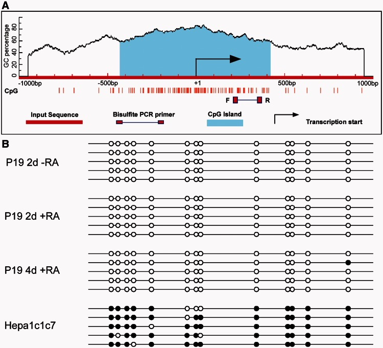 Mapping the DNA methylation status of the Arnt2 promoter in P19 and Hepa1c1c7 cells. ( A ) CpG island prediction in the murine Arnt2 promoter using MethPrimer software. Criteria used for prediction were island size > 100 bp, GC percentage > 30% and observed/expected CpG ratio > 0.6. A single CpG island of 851 bp was identified, which spread across the transcriptional start site of the murine Arnt2 gene. ( B ) Bisulfite sequencing revealed the Arnt2 promoter was not methylated in either undifferentiated P19 cells (2d -RA) or 2 day and 4 day differentiated (i.e. 2d and 4d +RA treated) P19 cells, but was hypermethylated in hepatoma Hepa1c1c7 cells. The black circles indicate methylated CpG sites, and white circles indicate unmethylated CpG sites. PCR fragment analysed indicated by F and R boxes in (A).