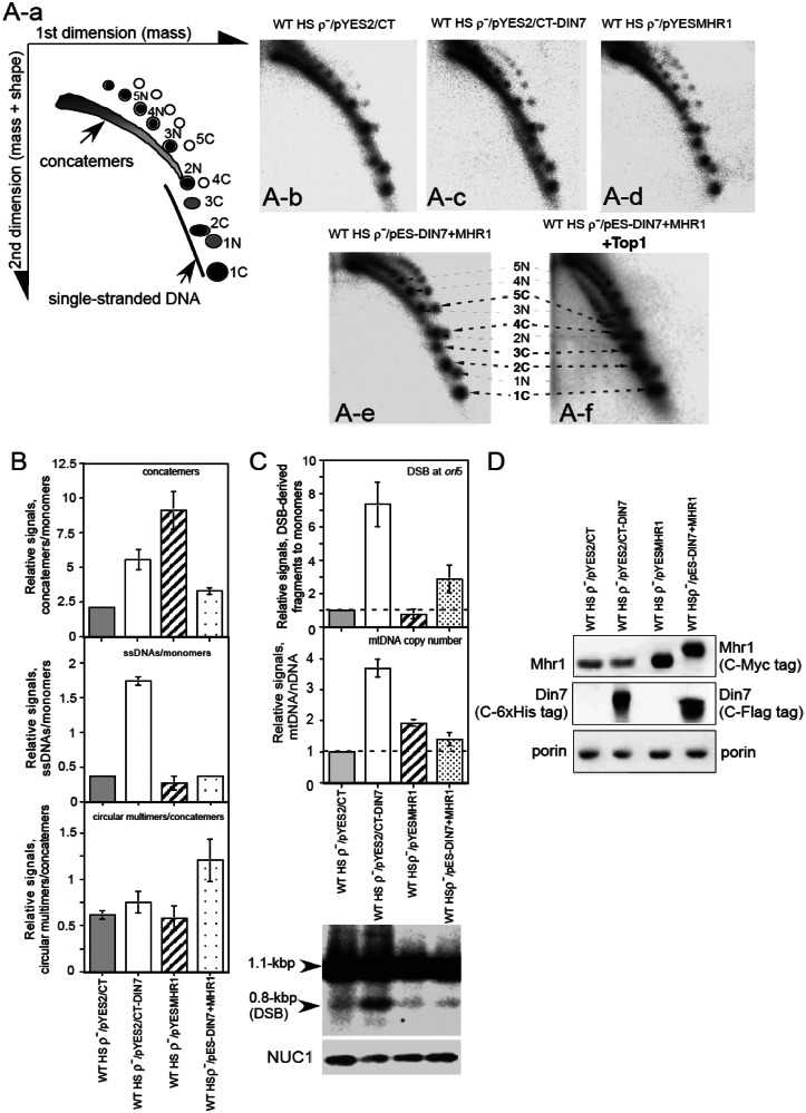 Effects of overproducing Din7 and Mhr1 on the levels of molecular species of HS ρ − mtDNA. Wild-type HS ρ − cells harboring the control plasmid pYES2/CT, the MHR1 expression plasmid pYESMHR1, the DIN7 expression plasmid pYES2/CT-DIN7 or the pESC-DIN7+MHR1 plasmid expressing both DIN7 and MHR1 were cultivated for 11 h at 30°C in RGal medium to induce gene expression. Whole cellular DNA was isolated from the cells, and ∼20 µg of cellular DNA was separated by 2D gel electrophoresis and transferred to a Hybond-N + membrane. HS ρ − mtDNA on the membrane was detected by Southern hybridization analysis using 32 P-labeled HS ρ − mtDNA as a probe. ( A -a) Schematic diagram of the molecular species of HS ρ − mtDNA separated by 2D gel electrophoresis. The first dimension separates DNA species according to mass, whereas the second dimension, which is run in the presence of ethidium bromide, fractionates molecules according to both mass and shape. The signals of the DNA species are indicated: continuous arc, concatemers (linear tandem multimers of varying continuous lengths); ssDNA, single-stranded DNA. Signals for supercoiled circular and nicked-circular double-stranded monomers and multimers were assigned by comparing A-e and A-f as described in the 'Results' section. 1C, 2C, 3C, 4C and 5C represent supercoiled closed-circular monomers, dimers, trimers, tetramers and pentamers, respectively. 1N, 2N, 3N, 4N and 5N represent nicked-circular monomers, dimers, trimers, tetramers and pentamers, respectively. Circular multimers are products of crossing-over–type homologous recombination ( 5 , 36 ). Signals corresponding to concatemers, supercoiled and nicked-circular monomers were measured and corrected by subtracting the background of an area of equivalent size that lacked radioactivity. (A-b, A-c, A-d and A-e) 2D gel profiles of HS ρ − mtDNA that were isolated from wild-type cells harbor ing pYES2/CT, pYESMHR1, pYES2/CT-DIN7 and pESC-DIN7+MHR1, respectively. ( B ) The top shows th