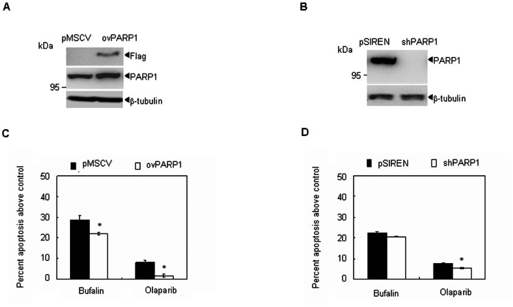 The role of PARP1 in bufalin-mediated apoptosis in MM cells. (A–B) H929 cells were stablely transfected with the control empty vector (pMSCV) or a PARP ovexpression plasmid (ovPARP1), or with the control nonspecific shRNA (pSIREN) or the shRNA against PARP1 (shPARP1), PARP1 expression was measured by western blot. (C) Indicated cells were treated with 20 nM bufalin or 20 µM olaparib for 48 hours. Annexin-V-positive cells were counted using flow cytometry. All values represent means ± S.D. of three independent experiments, each performed in triplicate ( * P