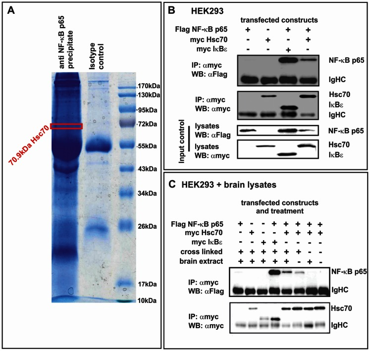 Hsc70 is a novel neuronal interaction partner of NF-κB. A. Porcine brain extracts were immunoprecipitated with anti NF-κB p65 antibody or isotype control on protein G sepharose in presence of cross-linker. The IP were separated in a 1D SDS gel. Each lane (p65 precipitate and control) were cut into 36 slices and prepared for MS by trypsin digestion. All 36 slices were analyzed by MS. Seven samples in range of 95 to 60 and 27 to 24 <t>kDa</t> were additionally analyzed by <t>LC-ESI-MS/MS.</t> The hits identified by MS included the heat shock cognate Hsc70 as a potential interaction partner of NF-κB p65. B. HEK293 co-transfected with p65-flag and Hsc70-myc or IκBε-myc were lysed followed by co-immunoprecipitation in presence of cross-linker using αmyc (IP) antibody with subsequent WB analysis. A clear interaction band (WB: αFlag) was detectable if myc-tagged IκBε and flag-tagged NF-κB p65 were co-transfected. Similarly, co-transfection of p65-flag and Hsc70-myc resulted in a clear interaction band (WB: αFlag), whereas no band was observed in negative controls (no p65-flag, or no IκBε-myc or Hsc70-myc). Lysates were used as input control. C. Neuronal proteins influence the interaction of NF-κB p65 with Hsc70. IP (αmyc) was performed in presence of cross-linker (DSP) and/or brain lysates with subsequent analysis by western blot. Interaction bands (WB: αFlag) were detectable in cross-linked samples for myc-tagged IκBε and flag tagged NF-κB p65 as well as for Hsc70-myc and NF-κB p65-flag. Combination of cross-linker and brain lysates resulted in stronger interaction band (WB: αFlag) for Hsc70-myc and NF-κB p65-flag. Without cross-linker no interaction bands was detectable.