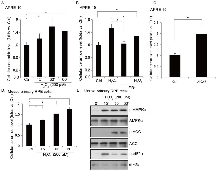 H 2 O 2 induces an early ceramide production, inhibited by fumonisin B1. APRE-19 cells ( A , C ) or primary mouse RPE cells ( D , E ) were either left untreated or treated with H 2 O 2 (200 μM) or 5-amino-1-β-D-ribofuranosyl-imidazole-4-carboxamide (AICAR) (1 mM) or indicated time points; cellular ceramide production was analyzed, quantified and was expressed as fold changes vs. untreated control group; phospho- and non-phospho- AMPK, ACC and eIF2α were detected as described above ( E ); ( B ) APRE-19 cells were pretreated with ceramide de novo synthase inhibitor fumonisin B1 (10 μM) for one hour, followed by H 2 O 2 (200 μM) for indicated time points; cellular ceramides production was analyzed, quantified and expressed as fold changes vs. control group (Ctrl). Experiments were repeated three times. * p
