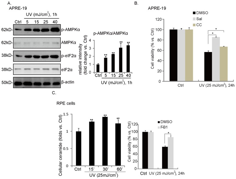UV induces ceramide production, ER stress/AMPK activation and RPE cell death. APRE-19 cells were irradiated with indicated dosage of UV; afterwards, cells were further incubated in culture medium for one hour. Phospho- and non-phospho-eIF2α/AMPKα, as well as β-actin were tested ( A ); APRE-19 cells were irradiated with UV (25 mJ/cm 2 ); afterwards, cell were incubated in culture medium for an additional 15, 30 and 60 min; cellular ceramide level was examined ( B , left panel ); APRE-19 cells were pretreated with fumonisin B1 (F-B1, 10 μM) ( B , right panel ), Sal (10 μM) or compound C (10 μM) for 1 h, followed by UV (25 mJ/cm 2 ) radiation. Cells were then cultured in culture medium for an additional 24 h; cell viability was examined by MTT assay ( C ). Experiments were repeated three times. ** p