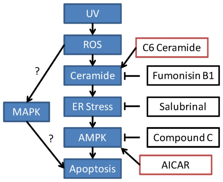 The proposed signaling pathway of this study. In RPE cells, UV radiation induces ROS production to induce an early ceramide production. Increased ceramide activates ER stress, which serves as an upstream signaling for AMPK activation. AMPK activation appears to be pro-apoptotic in this system. Suppression of this signaling axis by ceramide synthase inhibitor fumonisin B1, ER stress inhibitor salubrinal or by AMPK inhibitor compound C inhibits UV or H 2 O 2 -induced RPE cell death, while C6 ceramide and AMPK activator AICAR mimicked UV/H 2 O 2 's effect. The role of MAPK activation in UV or H 2 O 2 -induced RPE cell death needs further investigation; also, the mechanism link between these pathways warrants more studies.