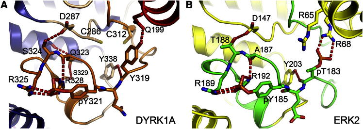 Activation Loop and Active State Stabilization Comparison of the activation segment arrangements of (A) <t>DYRK1A,</t> activation segment in orange, and (B) dual-phosphorylated ERK2, activation segment in green. The ERK2 structure is from PDB ID code 2ERK . Both DYRK1A and ERK2 have a completely ordered activation loop and glycine-rich loop, and active αC conformations. The activation loop in dual-phosphorylated active ERK2 forms an extensive hydrogen-bonding network around pT183. Phosphorylated Y185 is also stabilized through an extensive interaction network that is similar to the pY321 network formed by DYRK1A.