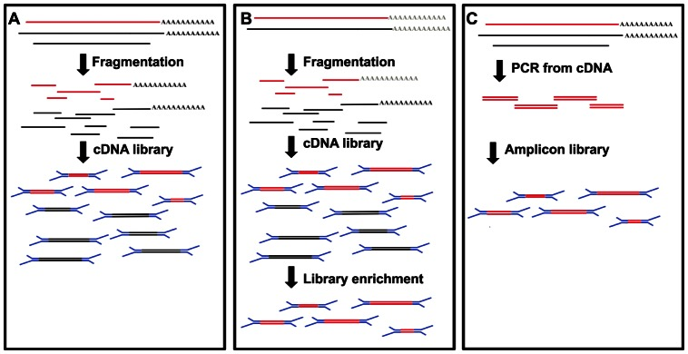 Schematic representation of different strategies for viral genome resequencing. A) Total RNA library: all the RNA species present in the sample are sequenced, no assumption on which genome is present, B) Hybridisation capture of a mRNA library: a good reference genome is needed to design the probes for capture, C) PCR enrichment: the desired genome is amplified from cDNA, a reference genome is needed to design specific oligos. Red lines, genomes of interest; Blue segments, Illumina adapters; Black lines, other RNA species.