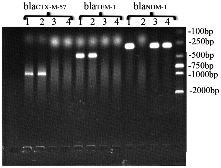 Polymerase chain reaction-amplified CTX-M-57, TEM-1, and NDM-1 genes in BJ01 (1), EC600 ESBL (2), EC600 NDM-1 (3), and DH5α NDM-1 (4). CTX-M-57 and TEM-1 were detected in BJ01 and EC600 ESBL ; bla NDM-1 was detected in BJ01, E600 NDM-1 , and DH5α NDM-1 .