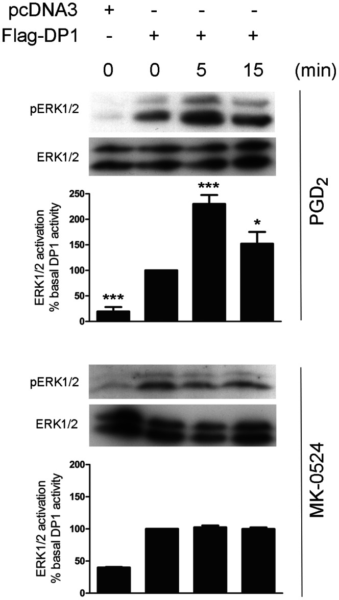 """MK-0524 does not modulate ERK1/2 activation by DP1. HEK293 cells transiently expressing Flag-DP1 were stimulated with 1 µM PGD 2 or MK-0524 for the indicated times. ERK1/2 activation was analyzed by Western blot using a phospho-ERK1/2 (pERK1/2) antibody as described under """" Materials and Methods """". Total amounts of ERK1/2 in the loaded samples were revealed by an anti-ERK1/2 antibody. The blots shown are representative of three separate experiments. Densitometry analyses (pERK1/2/ERK) of at least three different experiments were performed. IB , immunoblotting. * is P"""