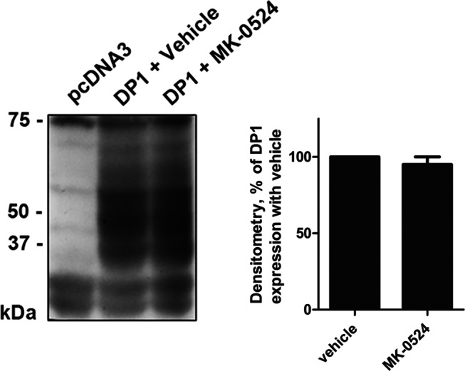 The total expression of the DP1 protein is not modulated by MK-0524. Lysates of HEK293 cells transiently expressing Flag-DP1 incubated for 24 h with vehicle or 1 µM of MK-0524 were analyzed by Western blot using a monoclonal Flag antibody. The blot shown is representative of three separate experiments. IB , immunoblotting.