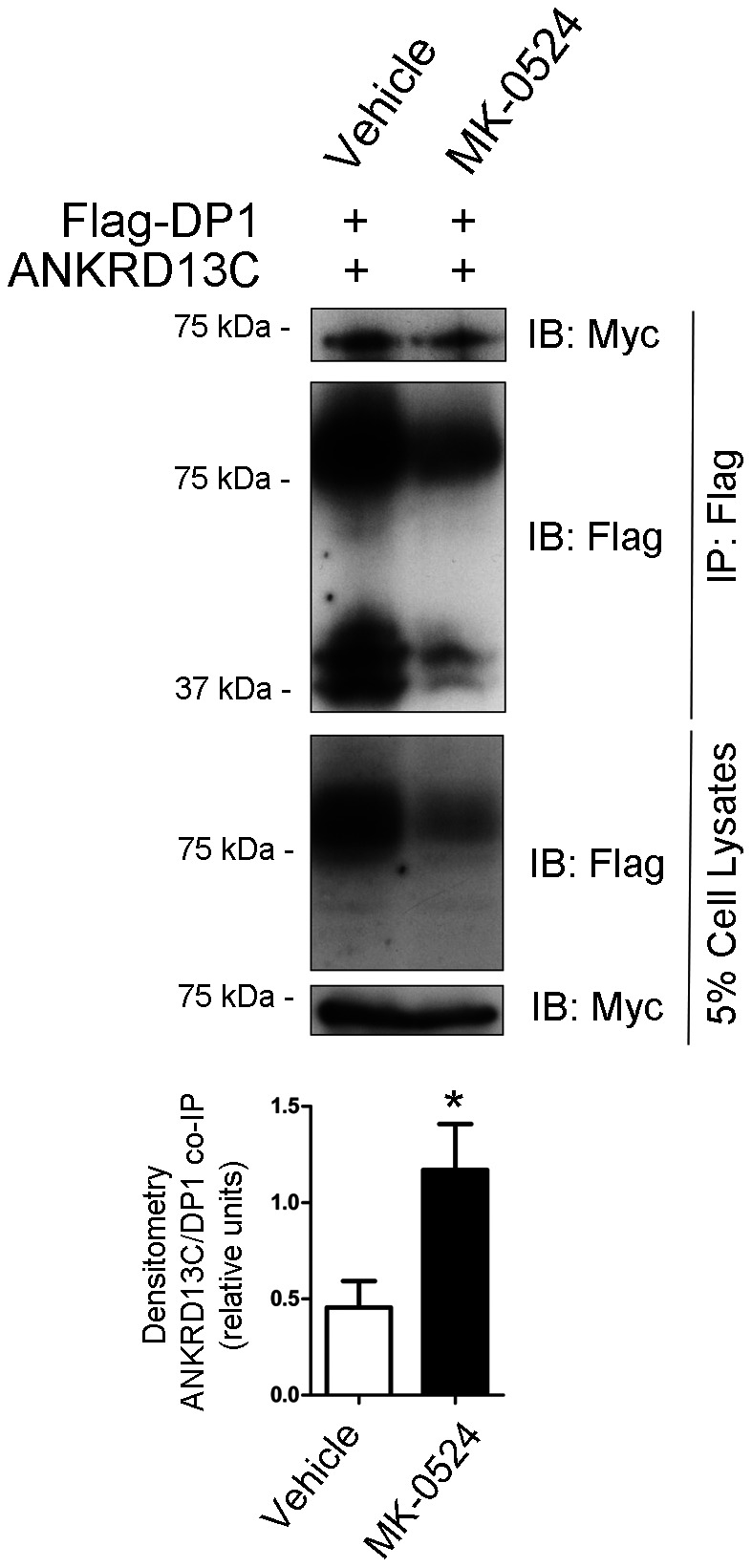 """MK-0524 promotes the interaction between DP1 and the ANKRD13C protein. HEK293 cells transiently co-expressing Flag-DP1 and ANKRD13C-myc were treated with vehicle (ethanol) or 1 µM MK-0524 for 24 h. Flag-DP1 was immunoprecipitated as described under """" Materials and Methods """" and immunoprecipitated samples as well as cell lysates were analyzed by Western blot with anti-Flag and anti-Myc antibodies. The blots shown are representative of three separate experiments. The ratio of the amount of ANKRD13C that was co-immunoprecipitated on the quantity of receptor immunoprecipitated was calculated by densitometry analyses from the three separate experiments and the results are shown in the bottom panel as the mean ± S.E. * is P"""