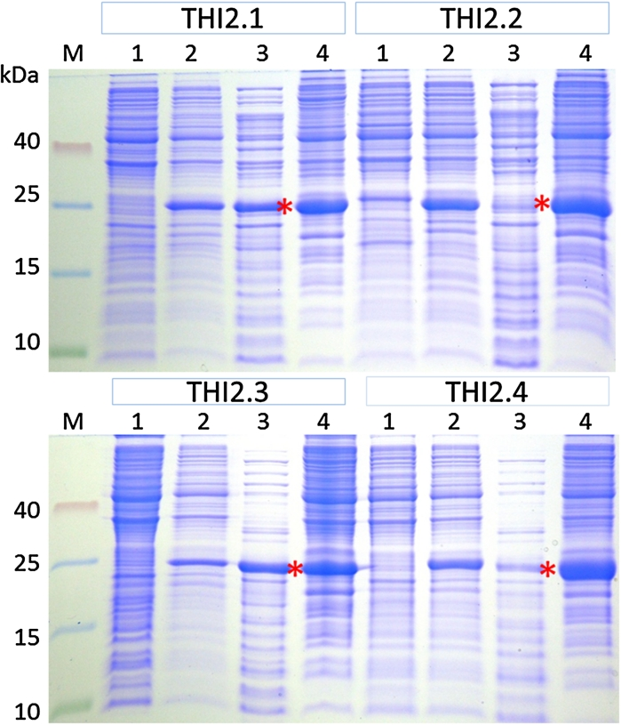 Cytoplamic expression of proTHI-TRX fusion proteins in strain C3030. For all fusion proteins, 1 ml of cell culture was pelleted and dissolved in 100 μl sample buffer. 10 μl from this extract and an equivalent amount for total soluble cytoplasmic fractions were separated on Tricine/SDS gels. (M) Protein marker, ( 1 ) un-induced crude extract, ( 2 ) induced crude extract, ( 3 ) total soluble fraction taken after cell lysis by sonication, ( 4 ) insoluble fraction after sonication. Red stars indicate the 25 kDa fusion protein