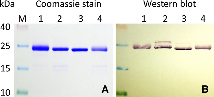 Comparison of Ni–NTA purified proTHI-TRX fusion proteins from strain C3030. a Coomassie Brilliant Blue staining. b Western blot with anti-His tag antibody. Each well contained 3 μg protein. (M) Prestained protein marker, ( 1 ) proTHI2.1-TRX, ( 2 ) proTHI2.2-TRX, ( 3 ) proTHI2.3-TRX, ( 4 ) proTHI2.4-TRX