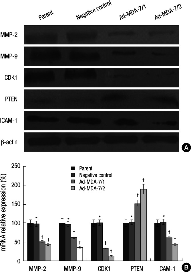 Effects of MDA-7 on expression of MMP-2/9, CDK1, ICAM-1 and PTEN in LiBr cell lines. ( A ) Western blot showed decreased MMP-2/9, CDK1 and ICAM-1 expression and increased PTEN expression on protein level in MDA-7 overexpressing LiBr cells. β-actin was used as an internal control for loading. The experiment shown is representative of three independent experiments with similar results. ( B ) Real-time PCR showed decreased MMP-2/9, CDK1 and ICAM-1 expression and increased PTEN expression on mRNA level in MDA-7 overexpressing LiBr cells. GAPDH was used as an internal control for loading. Bars mean±SD. * P > 0.05, † P