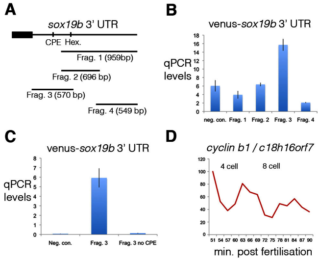 Cytoplasmic polyadenylation elements drive the post-transcriptional regulation of maternal mRNAs. ( A ) To map the elements controlling polyadenylation of the maternal mRNA sox19b , four different fragments of the 3′ UTR were cloned downstream of the coding sequence of the fluorescent protein Venus. The positions of a cytoplasmic polyadenylation element (CPE) and hexamer, which were contained within fragment 3, are shown. ( B ) Injection of fertilised zebrafish embryos with Venus-sox19b 3′ UTR RNA demonstrated that only fragment 3 is polyadenylated. The ratio of quantitative PCR levels at the 64-cell stage to 2-cell stage are shown. cDNA was generated with oligo(dT) primers. As a negative control (neg. con.), embryos were injected with Venus RNA without a 3′ UTR. Error bars indicate s.d. ( C ) A CPE is present within fragment 3 of the sox19b 3′ UTR, which when deleted abolishes polyadenylation. ( D ) To study the cell cycle-dependent post-transcriptional regulation of cyclin B1 , quantitative PCR was performed on cDNA, generated with oligo(dT) primers, derived from embryos synchronised by IVF. Embryos were collected every 3 minutes, starting just after the 2-cell stage. cyclin B1 polyadenylation levels are regulated in a cell cycle-dependent manner, with levels peaking during mitosis.