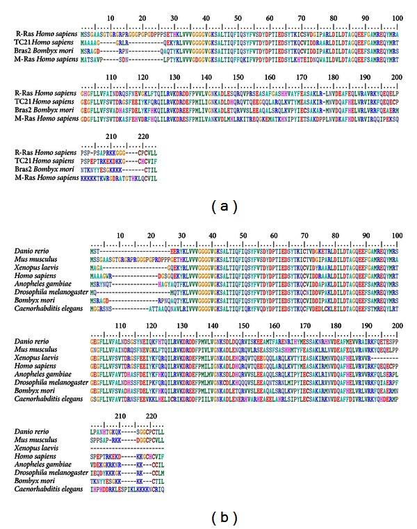 (a) Alignment of amino acid sequence of BmBras2 with members of the R-Ras superfamily from Homo sapiens . BmBras2 shares 69% of its amino acid identity with R-Ras, 77% with TC21 (R-Ras2) and 59% with M-Ras (R-Ras3). (b) Alignment of BmBras2 amino acid sequence with homologous proteins from different species.