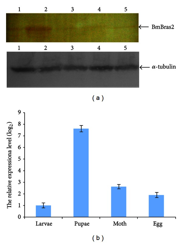 The expression analysis of BmBras2 during different silkworm developmental stages. (a) The expression levels of BmBras2 by western blotting; 1, fifth instar larvae; 2, pupae; 3, moth; 4, egg; 5, purified rBmBras2. (b) The relative expression levels of BmBras2 analyzed by real-time PCR. The relative expression level was calculated by using 2 −ΔΔCT , where ΔΔCT = (CT, BmBras2 -CT, 18S rRNA) for different stages and (CT, BmBras2 -CT, 18S rRNA) pupae.