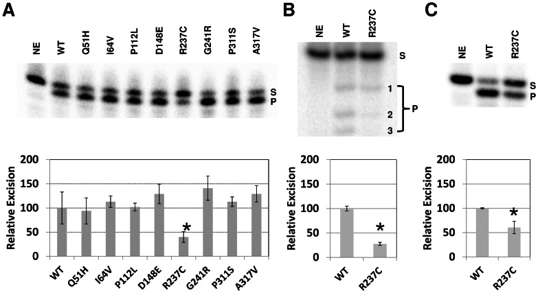 Exonuclease and 3′-repair assay. ( A ) Wild-type (WT) and variant APE1 proteins (250 ng) were incubated with 32 P-labeled partially duplex 15P/34G DNA substrate (0.5 pmol), and the reactions were resolved on a high resolution denaturing sequencing gel (top). Substrate (S) and exonuclease degraded product (P) were visualized and quantified using standard phosphorimaging analysis. NE = no enzyme. Graph of relative 3′ to 5′ exonuclease efficiency is shown (bottom), depicting the average and standard deviations of 4 independent experiments. *, p = 0.01. ( B ) Partial duplex 17P/34G substrate (0.5 pmol) was incubated with APE1 proteins (250 ng) and products were resolved on a high resolution denaturing sequencing gel. Products were detected using phosphorimaging analysis. Densitometry results are graphed below from 3 independent assays. *, p = 0.0009. ( C ) The 3′-phosphate partial duplex 15-p/34G DNA substrate (0.5 pmol) was incubated with APE1 proteins (1 ng) and products were resolved on a high resolution denaturing sequencing gel. Densitometry results are graphed below from 3 independent assays. *, p = 0.01.