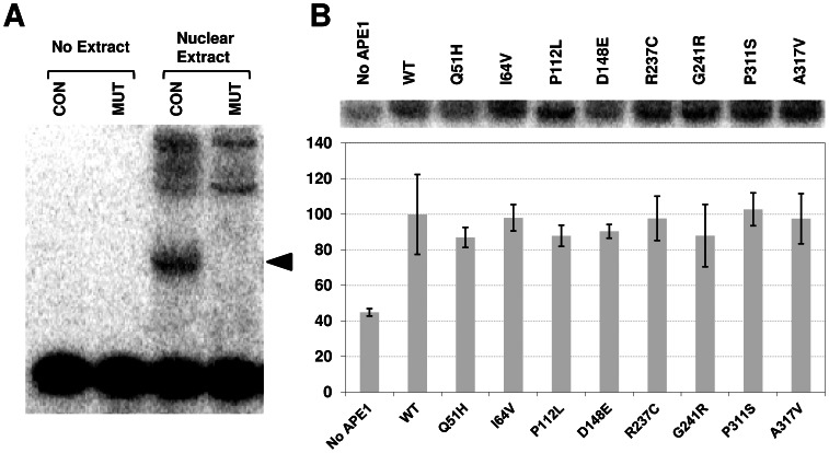 REF-1 assay. ( A ) HCT116 nuclear extract was incubated with 32 P-labeled consensus (CON) or mutant (MUT) AP-1 oligonucleotide substrates, and binding reactions were resolved on a non-denaturing polyacrylamide gel. Control reactions without nuclear extract (no extract) are shown. The arrow designates the position of the AP-1-specific consensus binding complex, not seen with the MUT double-stranded <t>DNA.</t> Higher molecular weight non-specific complexes are observed. ( B ) Reduced wild-type (WT) or variant <t>APE1</t> protein was incubated with HCT116 nuclear extract in the presence of the 32 P-labeled AP-1 CON DNA substrate. Shown is the AP-1-specific complex in the absence (no protein) or presence of the indicated reduced APE1 protein after phosphorimager analysis. Plotted is the relative AP-1 DNA binding activity, in comparison with reduced WT protein. Values represent the average and standard deviation of 3 independent experimental points.