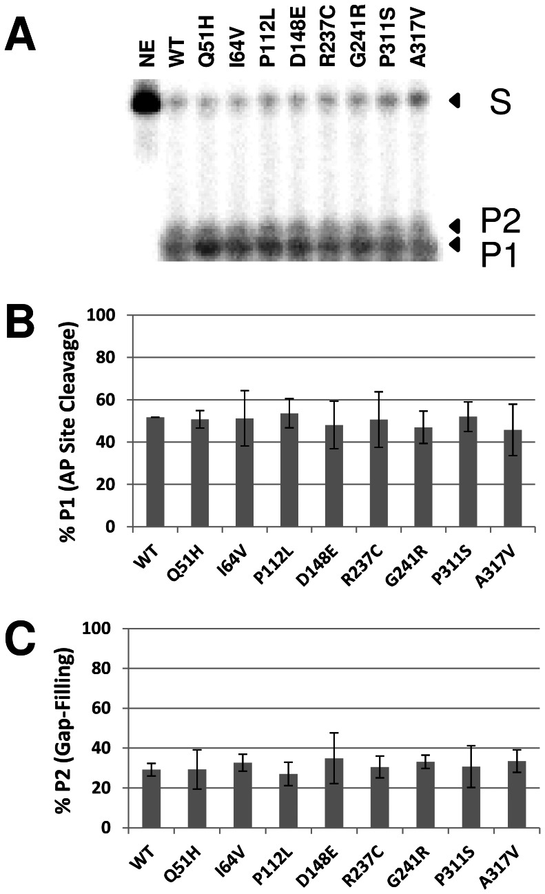 Reconstitution assay using purified BER proteins. ( A ) Wild-type (WT) and variant APE1 proteins were incubated with UDG and POLβ with 32 P-labeled 34U DNA substrate (1 pmol), and the reactions were resolved on a urea-polyacrylamide denaturing sequencing gel. The non-incised substrate (S), AP site incision product (P1), and gap-filling extension product (P2) were visualized and quantified using standard phosphorimaging analysis. NE = no enzyme. ( B ) Relative AP site cleavage efficiency. Shown are the averages and standard deviations of 4 independent reactions. ( C ) Relative gap-filling activity. Shown are the average and standard deviation of 4 independent assays.