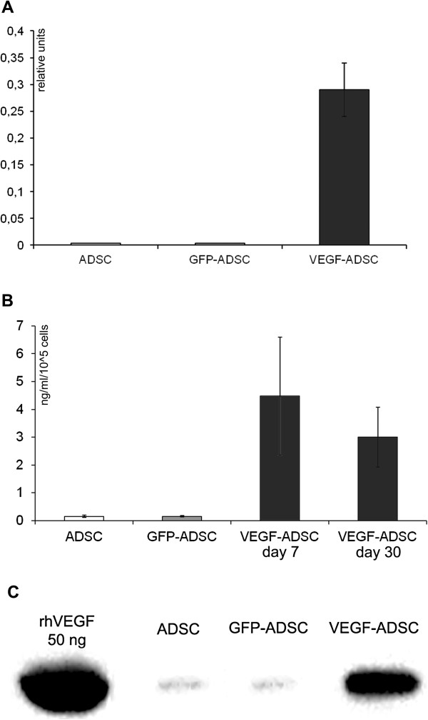 Validation of VEGF165 expression in AAV-modified VEGF-ADSC. A. VEGFA expression level in human ADSC 10 days after AAV transduction determined by quantitative PCR. B, C. Analysis of VEGF secretion by GFP-ADSC, VEGF-ADSC and unmodified cells using ELISA ( B ) and immunoblotting ( C ). In immunosorbent assay protein content was determined in conditioned media samples obtained at days 7 and 30 post genetic modification of ADSC.