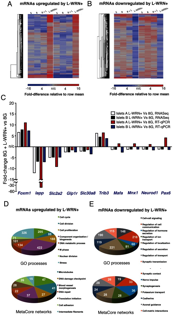 Treatment of human islets with L-WRN+ regulates large numbers of proliferative genes. (A) mRNAs upregulated in response to L-WRN+ by 1.5-fold vs treatment with 8 mM glucose alone, in islets sourced from two different donors. Relative <t>mRNA</t> levels in 5 mM glucose (5), 8 mM glucose (8), 8 mM glucose+LiCl (8+L) and L-WRN+-treated islet aliquots are shown; blue indicates lower abundance, red indicates higher abundance. (B) as for (A), but showing those mRNAs downregulated by 1.5-fold in response to L-WRN+ treatment. (C) qRT-PCR validation of six regulated and four nonregulated mRNAs ( Mafa , Mnx1 , Neurod1 , Pax6 ); fold-changes of L-WRN+ treatment vs 8 mM glucose are shown. Individual gene expression values were normalized to the geometric mean of B2m , Gapdh , Hmbs and Ywhaz [70] . White and black bars, fold-changes observed with <t>RNA-sequencing;</t> red and blue bars, fold-changes observed with qRT-PCR. (D, upper) Classification of upregulated genes into Gene Ontology categories; the most significantly over-represented categories are shown. (D, lower) Classification of upregulated genes into MetaCore custom-defined categories. (E, upper and lower) as for (D), but showing downregulated genes. Further details of Gene Ontology and MetaCore assignments are provided in Tables S2 and S3 .