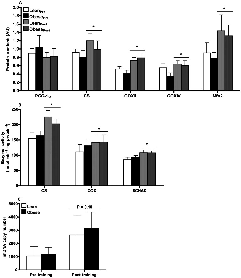 Markers of mitochondrial function. ( A ) Mitochondrial protein content assessed by Western blot and ( B ) mitochondrial maximal enzyme activity in skeletal muscle of lean ( n = 9) and obese ( n = 9) men prior to and following 12-wk endurance training. ( A ) PGC-1α, peroxisome proliferator-activated receptor-γ coactivator-1α; CS, citrate synthase; COX, cytochrome c oxidase - subunits II and IV. Results were normalized to β-actin protein content. * P ≤0.04 pre- vs. post-training (main effect). ( B ) CS, citrate synthase; COX, cytochrome c oxidase; SCHAD, short-chain β-hydroxyacyl-CoA dehydrogenase. * P ≤0.03 pre- vs. post-training (main effect). ( C ) Mitochondrial DNA (mtDNA) copy number determined by real-time quantitative PCR using a TaqMan probe against NADH dehydrogenase 4 (ND4) and β-globin. mtDNA copy number was calculated as the ratio of ND4 to β-globin in skeletal muscle of lean ( n = 3) and obese ( n = 5) men prior to and following 12-wk endurance training. * P = 0.10 pre- vs. post-training (main effect).