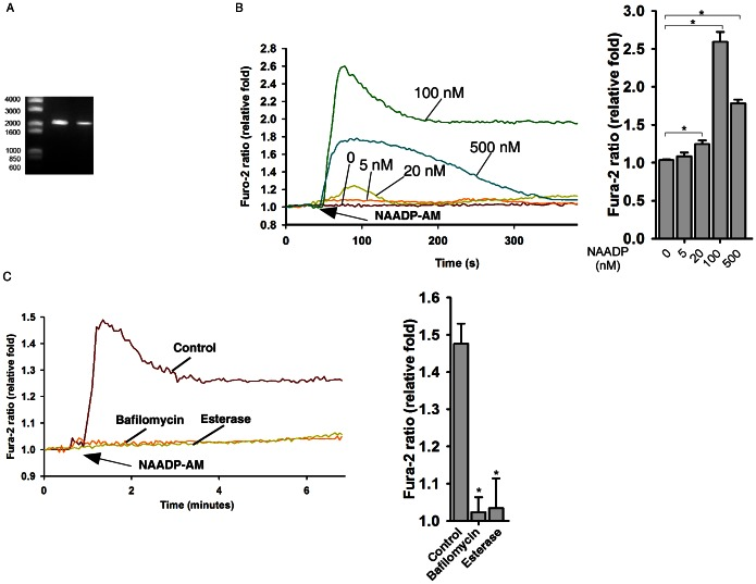 <t>TPC2</t> signaling in mouse ES cells. ( A ) Expressions of TPC2 mRNAs in D3 ES cells were determined by <t>RT-PCR.</t> ( B ) NAADP-AM induced a Ca 2+ increase in TPC2 overexpressing ES cells in a bell-shaped concentration response curve. ( C ) Inhibition of Ca 2+ response triggered by NAADP-AM (50 nM) by bafilomycin A1 (100 nM) and esterase (50 units/ml). Data quantifications of [Ca 2+ ] i peak induced by drug treatment in (B) and (C) are expressed as mean ± S.E., n = 30–40 cells. The * symbols indicate the results of t Test analysis, p