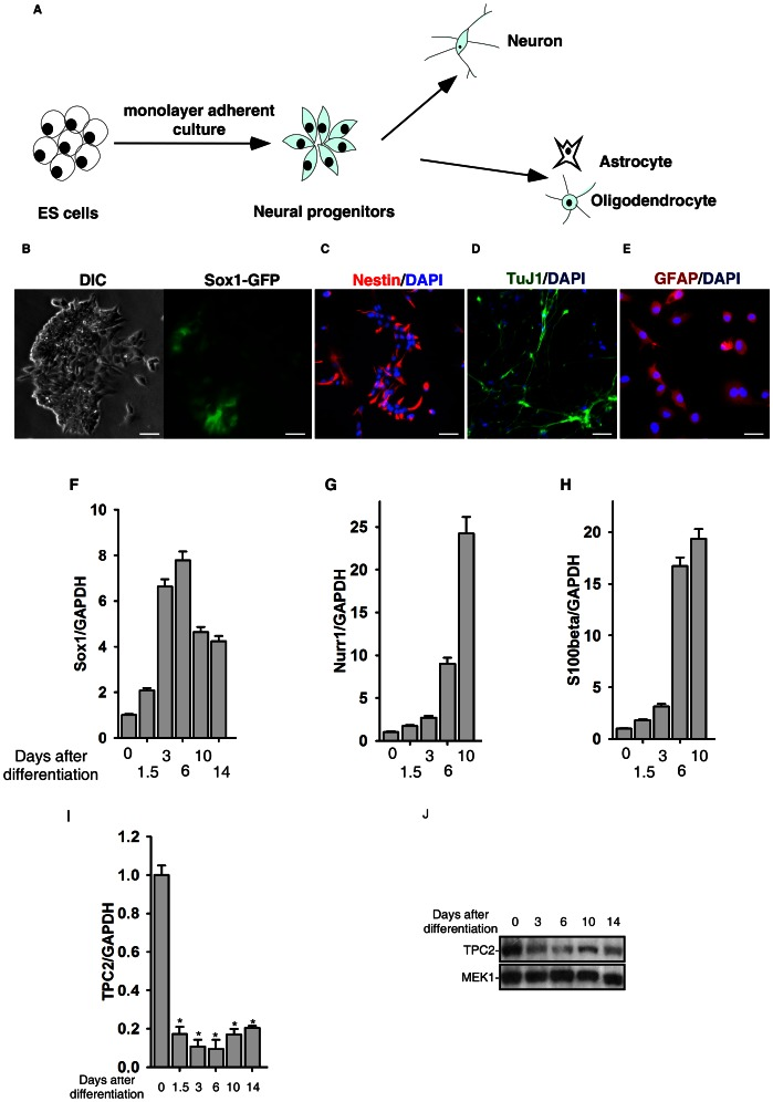 Expression pattern of TPC2 during in vitro neural differentiation of mouse ES cells. (A) Schematic of in vitro neural differentiation of mouse ES cells initiated by monolayer adherent culture. (B–E) Induction of neural differentiation of mouse ES cells by the monolayer adherent culture is indicated by Sox1GFP (B), Nestin (C), Tuj1 (D), and GFAP (E) positive cells. Scale bar = 200 µm. (F–H) Expressions of Sox1 (F), Nurr1 (G), and S100beta (H) in the neural differentiation of mouse ES cells were determined by quantitative real-time RT-PCR. (I) and (J) Expression of TPC2 in the neural differentiation of D3 ES cells was determined by quantitative real-time RT-PCR (I) and western blot analyses (J). The * symbols indicate the results of t Test analysis, p