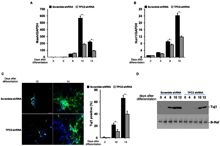 TPC2 knockdown inhibited neuronal differentiation from mouse ES cells derived neural progenitors. (A) and (B) RNA was harvested at indicated time points during neural differentiation in control and TPC2 knockdown ES cells and analyzed for expression of Mash1 (A) and Nurr1 (B) by qRT-PCR. (C) Immunofluorescent analysis of Tuj1 expression (TujI, Green; DAPI, blue) in control and TPC2 knockdown ES cells harvested at indicated time points during differentiation (Scale bar = 200 µm). Data quantification was presented as Tuj1-positive cells/DAPI-stained cells ± S.E., n = 5 (40–50 cells per experiment). The * symbols indicate the results of t Test analysis, p