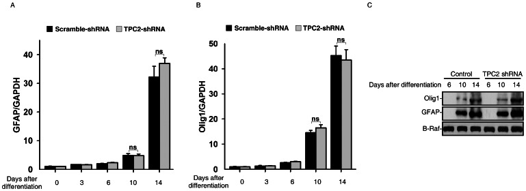 TPC2 knockdown did not affect glia differentiation of mouse ES cells. (A) and (B) RNA was harvested at indicated time points during neural differentiation and analyzed for expression of GFAP (A) and Olig2 (B) in both control and TPC2 knockdown cells by qRT-PCR. (C) Cell lysates were harvested at indicated time points during neural differentiation in both control and TPC2 knockdown cells, and analyzed for expression of GFAP and olig1 by western blot analyses.