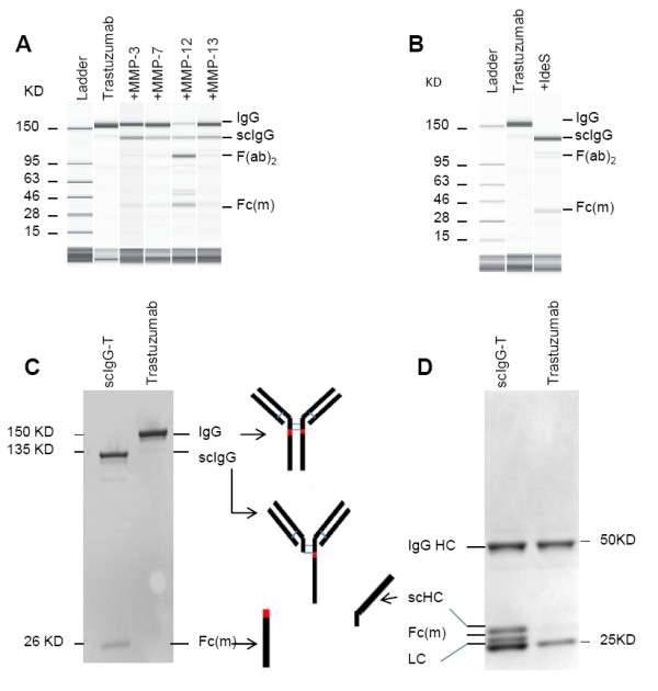 Detection of trastuzumab proteolytic cleavage in vitro . (A) Capillary electropherograms (CEs) of trastuzumab and matrix metalloproteinase (MMP)-digested trastuzumab under nonreducing and denatured running conditions. (B) CE of trastuzumab and IgG-degrading enzyme S (IdeS)-digested single hinge cleaved trastuzumab (scIgG-T). (C) Purified scIgG-T under nonreducing and denaturing running conditions and stained with Coomassie blue. (D) Trastuzumab and scIgG-T under reducing and denaturing running conditions and stained with Coomassie blue. Fab, fragment antigen binding; Fc (m) , Fc monomer; HC, heavy chain; LC, light chain.