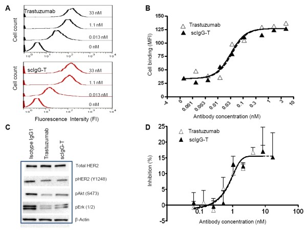 Biological characterization of single hinge cleaved trastuzumab compared with the intact trastuzumab antibody in vitro . (A) Histograms of trastuzumab and single hinge cleaved trastuzumab (scIgG-T) binding to HER2 expressed on BT474 cells using a flow cytometer. (B) Concentration-dependent binding of trastuzumab and scIgG-T to HER2 expressed on BT474 breast cancer cells as measured by flow cytometer. Mean fluorescence intensity (MFI) is plotted against each antibody concentration (nM) on the x axis. (C) Effect of trastuzumab and scIgG-T on total HER2 expression, pHER2 (Y1289), pAKT (S473), and pErk1/2 in BT474 cells as determined by western blotting. (D) Inhibition of BT474 breast cancer cell proliferation by trastuzumab and scIgG-T ( n = 4). Percentage of cell growth inhibition calculated as: (fluorescence signal of control group - signal of treatment group)/signal of control group×100.