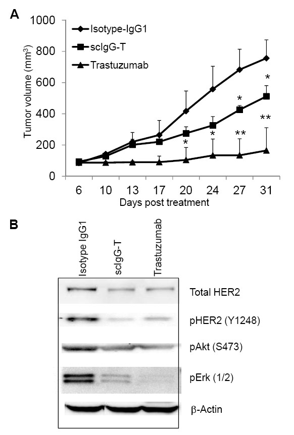 <t>Trastuzumab</t> and single hinge cleaved trastuzumab tumor inhibition efficacy in breast cancer xenograft mouse model . (A) BALB/c nu/nu mice ( n = 5) were subcutaneously inoculated with 5×10 6 BT474 human breast cancer cells. Mice were treated with the antibodies at 5 mg/kg weekly for a total of five doses when tumors reached an average size of 100 mm 3 . Tumor sizes were measured and compared among the treatment groups. * P