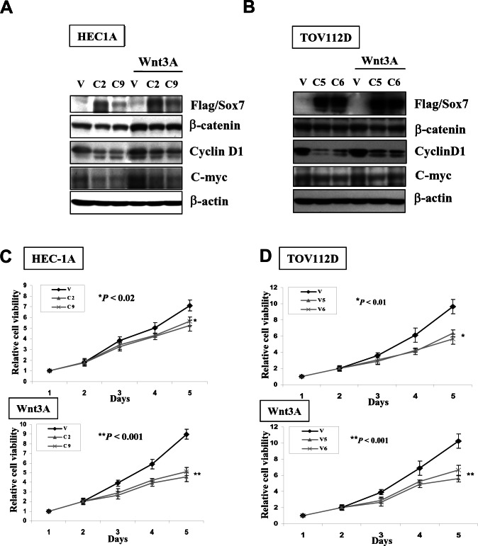 Enforced expression of Sox7 inhibits not only Wnt/β-catenin signaling activity but also cell growth of endometrial cancer cells (A) Western blotting showed Sox7 could suppress the expressions of C-myc and CyclinD1 in Sox7 stable expression clones in HEC1A and TOV112D cultured in normal and Wnt3A condition media. (B) XTT cell proliferation assay demonstrated that Sox7 could significantly inhibit cell growth of Sox7 stable expression clones in HEC1A and TOV112D cultured in normal and Wnt3A condition media.