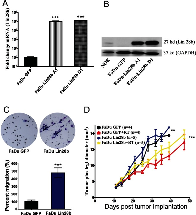 Stable expression of Lin28b enhanced HNSCC tumorigenicity in vitro and in vivo Expression of Lin28b in FaDu cells stably transfected with Lin28b-expression vector was detected by (A) qRT-PCR; and (B) Western blotting (27 kd), using GAPDH (37 kd) for loading control. (C) Representative images depicting enhanced migration ability of FaDu~Lin28b cells compared FaDu~GFP cells. Data were presented as mean ± S.E, n=10. (D) FaDu~Lin28b cells exhibited enhanced tumor formation and radiation resistance in vivo . Data were presented as mean ± S.E, n=4-5 mice/group. **p