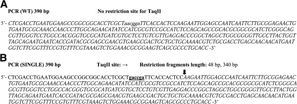 PCR fragment DNA substrates. Putative recognition sequence of TaqII is in bold and underlined. Arrows mark the cleavage. The restriction fragments lacking TaqII recognition sequence are in italics. ( A ) PCR fragment without a TaqII site. ( B ) PCR DNA fragment with a single 5′-GACCGA-3′ site.