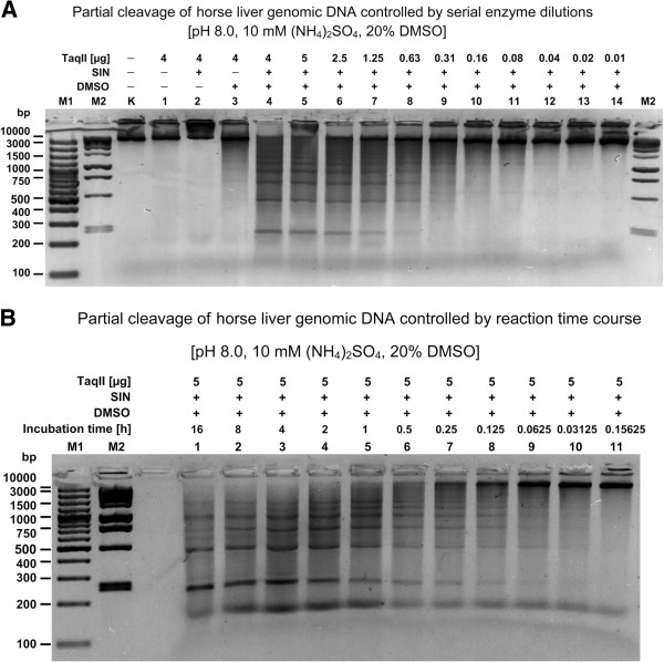 Digestion of highest complexity genomic DNA ( Equus caballus ) with TaqII/SIN/DMSO for BAC library construction. TaqII affinity star cleaved 1 μg horse liver DNA was electrophoresed on 1.5% agarose/TBE gel. Cleavage was carried out as described in Methods. ( A ) Partial digestion controlled by serial enzyme dilutions. Lane M1, Fermentas 100 bp DNA Ladder (selected bands marked); lane M2, Fermentas 1 kb DNA Ladder (selected bands marked); Lane K, undigested genomic DNA; lanes 1–4, DNA digested with 4 μg (32 pmols) of TaqII (Methods): lane 1, without SIN and DMSO; lane 2, with SIN, no DMSO; lane 3, no SIN, 20% DMSO; lane 4, with SIN, 20% DMSO; lanes 5–14, DNA digested with twofold dilutions of TaqII for 3 h at 65°C in the presence of SIN/DMSO: lane 5, 5 μg; lane 6, 2.5 μg; lane 7, 1.25 μg; lane 8, 0.63 μg; lane 9, 0.31 μg; lane 10, 0.16 μg; lane 11, 0.08 μg; lane 12, 0.04 μg; lane 13, 0.02 μg; lane 14, 0.01 μg. ( B ) Partial digestion controlled by reaction duration. Lane M1, Fermentas 100 bp DNA Ladder (selected bands marked); lane M2, Fermentas 1 kb DNA Ladder (selected bands marked); DNA digested with 5 μg (40 pmols) of TaqII at 65°C in the presence of SIN/DMSO (Methods): lane 1, 16 h; lane 2, 8 h; lane 3, 4 h; lane 4, 2 h; lane 5, 1 h; lane 6, 30 min; lane 7, 15 min; lane 8, 7.5 min; lane 9, 3.25 min; lane 10, 1.62 min; lane 11, 0.81 min.