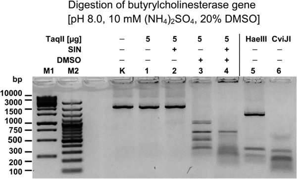 Comparative digestion of the PCR amplified horse butyrylcholinesterase gene with frequently cleaving REases. TaqII affinity star cleaved 1 μg horse butyrylcholinesterase gene DNA (1841 bp) was electrophoresed on 1.5% agarose/TBE gel. Cleavage was carried out at 65°C for 16 h with 5 μg (40 pmol) of enzyme in 50 μl of reaction volume. Lane M1, Fermentas 1 kb DNA Ladder (selected bands marked); lane M2, Fermentas 100 bp DNA Ladder (selected bands marked); Lane K, undigested DNA; lanes 1–4, DNA digested with TaqII (Methods): lane 1, without SIN and DMSO; lane 2, with SIN, no DMSO; lane 3, no SIN, 20% DMSO; lane 4, with SIN, 20% DMSO; lane 5, DNA digested with HaeIII (5 units); lane 6, DNA digested with CviJI (0.25 unit).