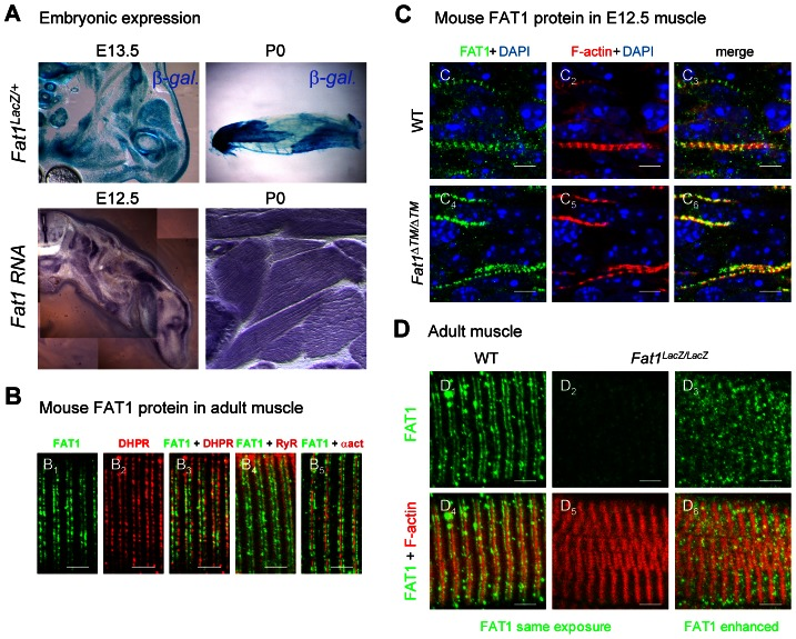 Fat1 expression at late stages of muscle differentiation. ( A ) Fat1 expression was visualized in E13.5 embryos or in neonate (P0) muscle by β-galactosidase staining or by in situ hybridization with a Fat1 3′UTR RNA probe. ( B – D ) Immunolocalization of FAT1 (anti-FAT1-ICD from [35] , green) was performed in E12.5 mouse embryo ( C ), and on adult ( B, D ) muscle fibers on longitudinal muscle cryosections from wild type ( B , C 1–3 , D 1,4 ), from Fat1 ΔTM/ΔTM embryos ( C 4–6 ), and from Fat1 LacZ/LacZ ( D 2–3 , D 5–6 ) mice, combined with either antibodies against alpha-actinin (red, B 5 ), DHPR (Cacna1s) (red, B 2,3 ), or RyR (red, B 4 ), or with Phalloidin (red, C, D ). In D , Green channel images (FAT1) were first captured with either identical exposure time between wild type and mutants ( D 1,4 and D 2,5 , 421 ms), or with longer exposure time ( D 3,6 , 2222 ms). This indicates that the epitope detected by the anti-FAT1-ICD antibody (from ref [35] ) is present in reduced but detectable amounts in Fat1 LacZ/LacZ muscles. This observation was made when Fat1 LacZ/LacZ mice (n = 2 at P0; and n = 3 at adult stages) displayed severe muscle defects at the stage of dissection, indicating that levels of FAT1 protein inversely correlate with phenotype severity. Scale bars: ( B – D ) 4 µm, ( C ) 6 µm.