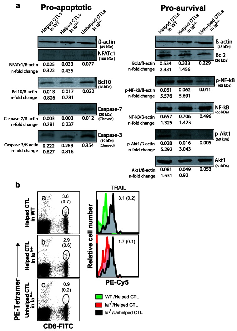 Immunoblot analysis of the expression and phosphorylation status of pro-survival and pro-apoptotic proteins. ( a ) Lysates prepared from helped or unhelped CTLs obtained from WT or CD4 + T cell-deficient mice were subjected to SDS-PAGE, and transferred to the nitrocellulose membrane. Western blotting was performed with a panel of Abs specific for β-actin, Bcl-2, Bcl10, Akt1, NF-κB-p65, phosphorylated-Akt1 and -NF-kB-p65, cleaved Caspases-3 and -7, or NFATc1 transcription factor and analyzed by the ODYSSEY densitometer. Densitometric values were normalized on the β-actin control and n-fold changes of normalized targets in the helped CTLs of WT or Ia b-/- mice relative to the unhelped CTLs in Ia b-/- mice are shown below the corresponding lanes. Data are derived from samples pooled from four to six mice in each group of the first experiment. The results of the second experiment are consistent with the first experiment (data not shown). One representative of two independent experiments is shown. ( b ) Representative FACS plots of helped CTLs from WT or CD4-deficient mice, or unhelped CTLs from CD4-deficient mice. Blood samples from helped CTLs in WT and Ia b-/- mice and unhelped CTL in Ia b-/- mice were collected 16 days of adoptive transfer and processed for triple staining. Value in panel a, b and c represents percentage of tetramer + -and CD8 + -specific double-positive cells in the total of CD8 + T cell population. The tetramer + -and CD8 + -specific double-positive cell populations were gated (in the circle) for analysis of TRAIL expression. Histogram overlays (right panels) of CD8 + tetramer + -gated helped CTLs from WT (histogram green filled overlays; right top panel) or CD4-deficient mice (histogram red filled overlays; right bottom panel) and CD8 + tetramer + -gated unhelped CTLs from CD4-deficient mice (histogram grey filled overlays; right top and bottom panel). The mean of fluorescence intensity (MFI) was calculated from triplicate values. The value in eac
