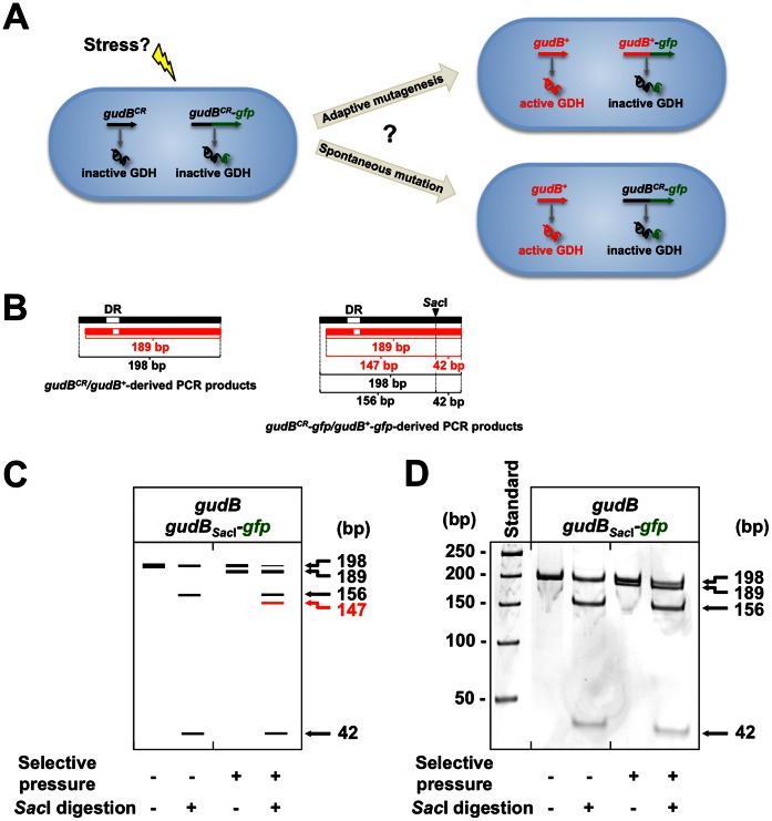 Stabilities of DRs present in the native gudB CR and in the gudB CR Sac I -gfp alleles. (A) In addition to the native gudB CR allele, a second gudB CR -gfp fusion that could be potentially mutated during growth of a B. subtilis ΔrocG mutant under selective pressure was introduced into the amyE locus on the chromosome. (B) DNA species comprising the 9 bp DR were amplified by colony PCR using gudB -specific oligonucleotides (see Materials and Methods). To distinguish the DNA species derived from the two gudB CR alleles, a Sac I site was introduced into the gudB CR -gfp allele by exchanging G at position 402 by C. (C) Schematic illustration of the fragment pattern of DNA species obtained from cells collected prior to selective growth and after selection. The same samples were treated with Sac I. The emergence of a 147 bp DNA species shown by red letters would indicate the decryptification of the gudB CR -gfp allele. (D) Fragment pattern of DNA species obtained from real samples.