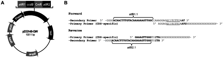 Schematic representation of the high-throughput cloning strategy. A. B. subtilis Gateway expression vector pDG148-GW with an inducible P spac promoter. lacI, lac repressor gene; AmpR, kanR, phlR, CmR, genes providing resistance to ampicilin, kanamycin, phleomycin, or chloramphenicol, respectively; ccdB, gene coding for the cytotoxic CcdB protein. B. Full-length coding sequences (CDS) are amplified by nested PCR using a set of CDS-specific (primary) primers and a set of universal (secondary) primers. The resulting PCR product contains the CDS preceded by a synthetic SD sequence (brackets) and a Sap I restriction site (underlined). att B1.1 and att <t>B2.1</t> sites for site-specific recombination are indicated by braces; start and stop codons of the CDS, in italic-bold.