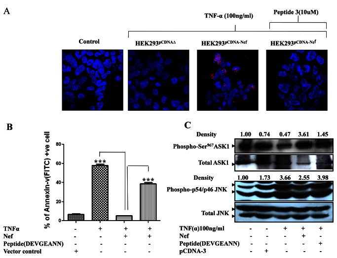 Synthetic peptide N-DEVGEANN-C successfully inhibited Nef from interacting with and there by restore the functions of endogenous wild type ASK1 activity. ( A ) HEK-293 cells were transfected with Nef plasmid or vector backbone. 24 hrs post transfection, cells were stimulated to progress through ASK1 mediated apoptotic progression using classic ligand viz. TNF-α (100ng/ml) either in absence or presence of synthetic peptide N-DEVGEANN-C (10ng/ml). The extent of interaction of endogenous wild type ASK1 with Nef and ability of peptide N-DEVGEANN-C to impair the interaction was evaluated using In situ proximity ligation assay. ( B ) Synthetic peptide N-DEVGEANN-C prevented HIV-1Nef from offering protection against TNF -α induced, endogenous wild type ASK1 mediated <t>apoptosis</t> as evaluated using <t>Annexin-V/PI</t> assay. ( C ) Endogenous wild type ASK1 activity was rendered active by synthetic peptide N-DEVGEANN-C even in presence of HIV-1Nef as indicated by markedly decreased inhibitory Ser 967 phosphorylation of ASK1 with a corresponding increase in p54/46JNK1 activation profile as indicated by higher phospho-p54/46JNK1 levels in western blot analysis. All western blotting was done three times and integrated density was determined by densitometry analysis using imageJ software.