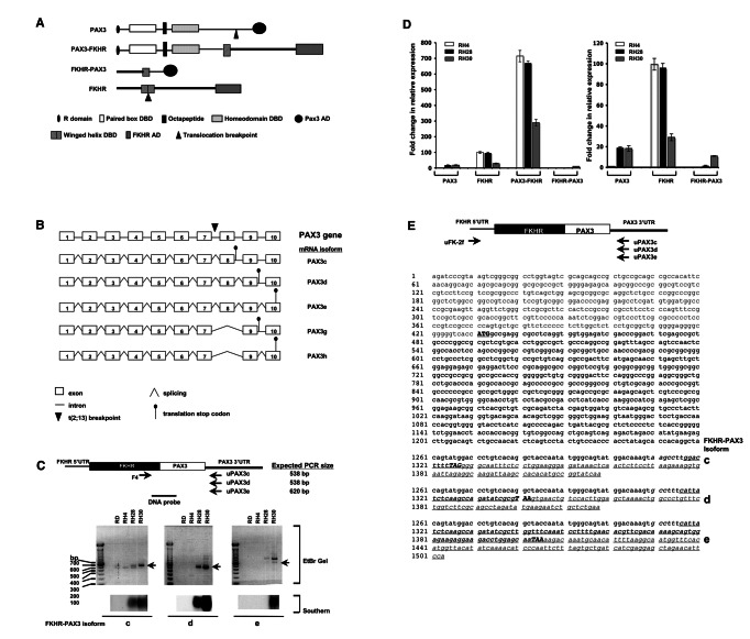 Cloning of FKHR-PAX3 cDNA. ( A ) Schematic of PAX3, FKHR, PAX3-FKHR and the predicted FKHR-PAX3 protein structures indicating the known functional domains. R: repressor; DBD: DNA binding domain; AD: activation domain. ( B ) Diagrammatic illustration of the exon-intron organization of human PAX3 gene, and the five alternatively spliced mRNAs that could result from processing of the FKHR-PAX3 primary transcript. PAX3c, PAX3d, and PAX3e use stop codons in intron 8, intron 9, and exon 10. PAX3g and PAX3h are truncated isoforms of PAX3d and PAX3e, respectively, that splice out exon 8. ( C ) Expression of FKHR-PAX3 transcript isoforms c, d, and e in ERMS (RD) and ARMS (RH4, RH28, RH30) cell lines as detected by RT-PCR and confirmed by Southern hybridization. Top panel: schematic indicates the positions of the FKHR-specific primer (F4) and the isoform-specific PAX3 PCR primer pairs, and the DNA probe spanning the FKHR-PAX3 fusion site used in the Southern analysis are indicated (not to scale). ( D ) Quantitative RT-PCR analysis of PAX3, FKHR, PAX3-FKHR, and FKHR-PAX3 expression in ARMS cell lines. The relative expression data are presented at two different scales on the Y-axis, high (left panel) and low (right panel) to compensate for the high levels of PAX3-FKHR expression. The relative expression level of PAX3/GAPDH in RH4 cells was assigned an arbitrary value of 1, and used as the reference to calculate fold change. ( E ) Nucleotide sequences of the cloned FKHR-PAX3 isoforms c, d, and e cDNAs. Top panel: schematic of the FKHR and the isoform-specific PAX3 primer pairs used to clone the full-length protein coding cDNA from RH30 cells. Primer location is approximate for illustrative purposes only. Sequence data is annotated by text in: Plain: 5' FKHR-UTR; plain/italic: 3' PAX3-UTR; Bold: protein coding sequences; bold/capital/underline: translation start codon; bold/capital/italic/underline: translational stop codons; underline: isoform-specific sequences.