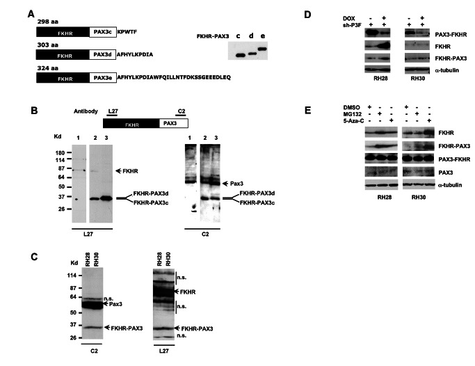 Immunodetection of in vitro and in vivo expressed FKHR-PAX3 protein. ( A ) Left panel: schematic of deduced sizes and amino acid sequence variations for FKHR-PAX3 isoforms c, d, and e. Right panel: Autoradiographic image of S 35 -methionine labeled in vitro translated FKHR-PAX3 protein isoforms. ( B ) Verification of PAX3-specific C2 and FKHR-specific L27 antibodies in detecting in vivo expressed FKHR-PAX3 proteins. Top panel: diagrammatic illustration of the epitope locations within the FKHR-PAX3 protein recognized by L27 and C2 antibodies. Bottom panel: western blot detection of FKHR-PAX3 in whole cell extracts (30 μg) prepared from RD cells that were transiently transfected with control expression vector (lane1), FKHR-PAX3 isoform c (lane 2), and FKHR-PAX3 isoform d (lane 3) using C2 (left panel) and L27 (right panel) antibodies. ( C ) Western blot detection of the endogenously expressed FKHR-PAX3 in RH28 and RH30 cells by L27 and C2 antibodies. Protein extract from FKHR-PAX3 negative RH4 cells was included as negative control. n.s.: non-specific bands resulting from high amount of protein extracts used and long film exposure. ( D ) Effect of PAX3-FKHR knockdown on the endogenous level of FKHR-PAX3 in RH28 and RH30 cells. Whole cell extracts were prepared from cells that stably expressed the inducible PAX3-FKHR shRNA treated with DMSO or DOX for 48 hours, and analyzed for FKHR and FKHR-PAX3 expression. ( E ) Effect of MG132 (10 μM for 12 hours) and 5'-Aza-C (1 μM for 48 hours) on endogenous FKHR-PAX3 expression levels in RH28 and RH30 cells. ( C - E ) A total of 400 μg of protein extracts were used for the analyses. ( D - E ) Alpha-tubulin was used to normalize sample loading.