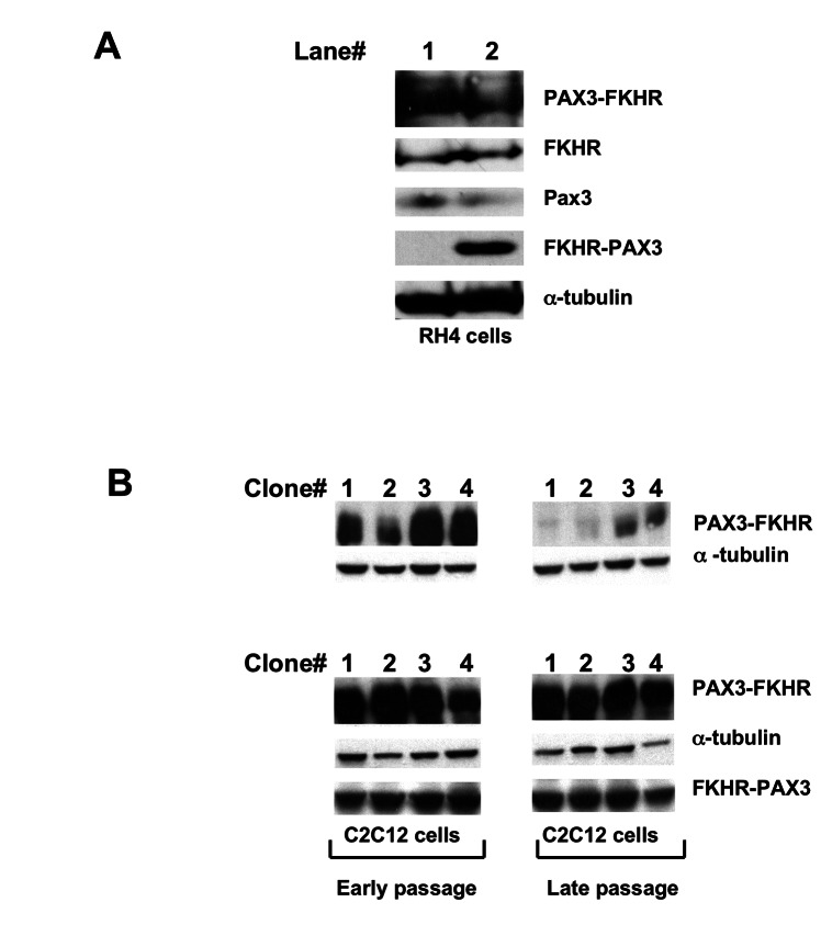 FKHR-PAX3 preserved high level of PAX3-FKHR expression in myogenic cells. (A) RH4 cells that do not express endogenous FKHR-PAX3 were transfected with empty vector (lane 1) or FKHR-PAX3 expression vector (lane 2). After continuous culture for 35 passages, cells were assayed for PAX3, FKHR, PAX3-FKHR, and FKHR-PAX3 expression by western blot. (B) Western blot analysis on the ability of FKHR-PAX3 to sustain high PAX3-FKHR expression. Stable clones of C2C12 cells expressing high levels of PAX3-FKHR were subjected to a second round of transfection to select for FKHR-PAX3 expression as described in Materials and Methods. The first confluent plate was designated as passage zero and used to generate early (