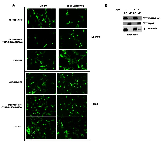 FKHR-PAX3 localized predominantly in the cytoplasm of cells. ( A ) NIH3T3 and RH30 cells were transfected with vectors expressing wild-type FKHR-GFP, triple-mutant (T24A/S256A/S319A) FKHR-GFP, or FKHR-PAX3-GFP (FP3-GFP) by lipofection. Cells were maintained in low serum medium (0.5% FBS) overnight prior to the addition of DMSO or LepB (2 μM) for six hours. At the end of treatment, fluorescent microscopy (magnification: 200X) was used to visualize the GFP-tagged proteins as indicated. ( B ) Western analysis confirmed the cytoplasmic localization of the FKHR-PAX3 protein in cells. RH30 cells were transfected with FKHR-PAX3 and treated with or without LepB as described in ( 4A ). MyoG and α-tubulin served as nuclear and cytoplasmic specific controls, respectively, to evaluate the fractionation protocol. L27 antibody was used to detect FKHR-PAX3. Representative data from FKHR-PAX3 isoform c is shown.