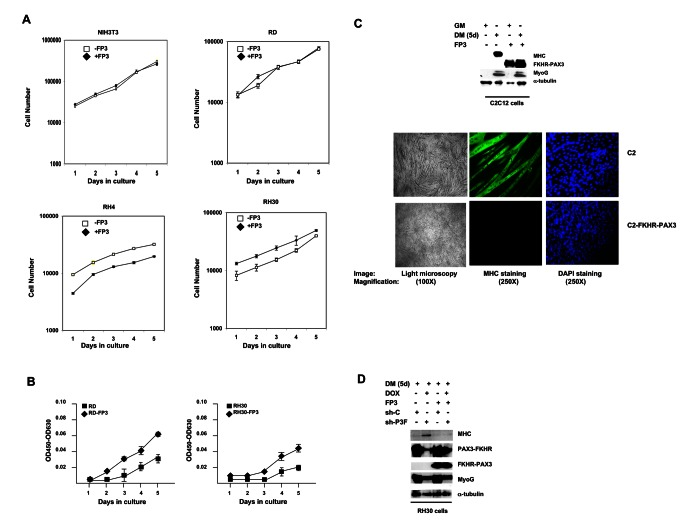 FKHR-PAX3 promoted low-density cell proliferation and blocked terminal myogenic differentiation. ( A ) Comparison of cell proliferation in NIH3T3, RD, RH4, and RH30 cultures with or without FKHR-PAX3 (FP3) expression. Cells were seeded in triplicate at 1 x 10 4 cells/well into a 24 well-plate. Proliferation was measured daily by counting the number of live cells (trypan blue-negative) over five days beginning a day after the initial seeding. Cell death was minimal in all experiments. ( B ) The effect of FKHR-PAX3 expression on low-density RD and RH30 growth. Cells were seeded in triplicate at 2 x 10 3 cells/well into a 24 well-plate. Cell growth was quantified daily using the WST-1 cell proliferation kit. ( C ) Top panel: Immunodetection of MyoG and MHC expression in proliferating (GM) and differentiated (five days, DM) C2C12 cells with or without FKHR-PAX3. Bottom panel: light (left panel, 100X magnification) and fluorescent (middle and right panels, (250X magnification) microscopic images of day-5 differentiated cells stained with MF20 antibody against MHC (middle) or with DAPI (right). ( D ) The effect of PAX3-FKHR knockdown on MyoG and MHC expression in control and FKHR-PAX3 expressing RH30 cells. Cell extracts were analyzed by western blot as in Figure 2D. ( C - D ) Alpha-tubulin was used to normalize sample loading. Representative data from FKHR-PAX3 isoform c is shown.