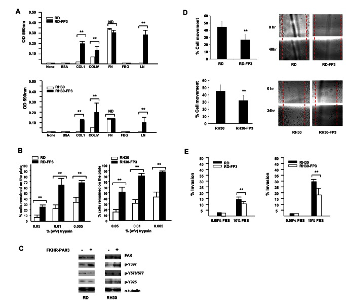 FKHR-PAX3 selectively increased cell adhesion over cell movement and invasion. ( A ) FKHR-PAX3 increased attachment of RD (top panel) and RH30 (bottom panel) cells to the indicated extracellular matrix components. ( B ) FKHR-PAX3 expression in RD (left panel) and RH30 (right panel) increased the strength of cell adhesion to culture dishes as indicated by a reduced sensitivity to trypsin. ( C ) Western blot analysis of the effect of ectopic FKHR-PAX3 expression on FAK phosphorylation in RD and RH30 cells. A total of 30 μg of whole cell extracts were analyzed. ( D ) FKHR-PAX3 reduced the migratory function in RD (top panel) and RH30 (bottom panel) cells as measured by scratch wound assay. Left panel: quantification of migratory index; right panel: representative micrographs of the scratched wound assays. ( E ) FKHR-PAX3 decreased the invasive potential of RD (left panel) and RH30 (right panel) as determined by Matrigel assay. ND: statistically no difference. ( A - B , D - E ) Assays were conducted as described in Materials and Methods. Representative data from FKHR-PAX3 isoform c is shown.