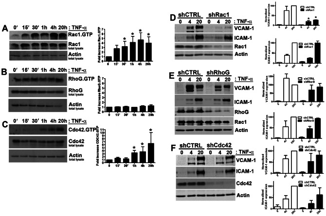 The small GTPase Rac1 is activated by TNF-α and regulates the expression of VCAM-1 and ICAM-1. HUVEC were treated with TNF-α as indicated and a Rac1.GTP ( A ), RhoG.GTP ( B ) and CDC42.GTP ( C ) pull-down assay was performed as described in Online Methods. Second and third panels show protein loading. Graphs on the right show quantification. All experiments described above were repeated at least four times. Data are mean±SD. * P