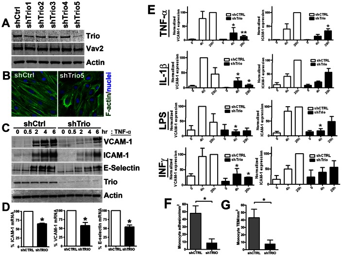Trio silencing reduces inflammatory cytokine-induced expression of ICAM-1 and VCAM-1 and reduces leukocyte adhesion and transendothelial migration. ( A ) Five lentivirally-delivered shRNA constructs targeting Trio expression were examined for their potential to downregulate Trio protein expression. The GEF Vav2 and actin are shown as loading controls. ( B ) The effect of Trio silencing on the F-actin cytoskeleton in HUVEC that were stimulated with TNF-α. Immunofluorescent images show actin in green and nuclei in blue. Scale bars: 20 µm. ( C ) ICAM-1, VCAM-1 and E-selectin protein expression upon TNF-α time-course in shCTRL and shTrio-treated HUVEC. ( D ) ICAM-1, VCAM-1 and E-selectin mRNA levels by qRT-PCR in shCTRL and shTrio-HUVEC after TNF-α. Adhesion molecule mRNA levels in shTrio-treated HUVEC as a percentage of the adhesion molecule mRNA levels in controls. Data are means of three independent experiments ± SEM. ( E ) Upregulation of VCAM-1 (left graphs) and ICAM-1 (right graphs) by TNF-α, IL-1β, IFN-γ and LPS in shCTRL (open bars) and shTrio (closed bars)-treated HUVEC. Primary monocytes were perfused over HUVEC and adhesion ( F ) and TEM ( G ) was quantified as described in Materials and Methods . This experiment was carried out four times in duplicates. Data presented in all graphs are means±SEM. * P